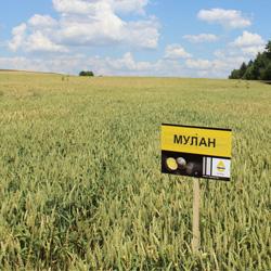 Озимая пшеница Мулан