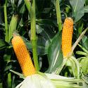 Семена кукурузы сурига фао 180