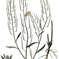 Erysimum cheiranthoides L.