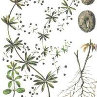 Galium aparine L.