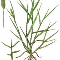 Setaria viridis L.