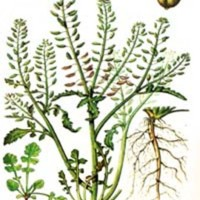 Rorippa palustris L.