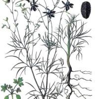 Consolida regalis S.F. Gray (Delphinium consolida L.)