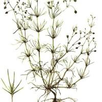 Spergula arvensis L.