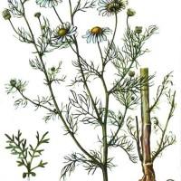 Matricaria inodora L.