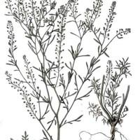 Lepidium ruderale L.