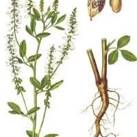 Melilotus albus Medik