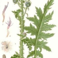 Carduus crispus L.