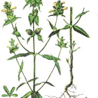Rhinanthus major L.