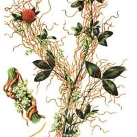 Cuscuta trifolii B.
