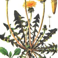 Taraxacum offcinalis W.