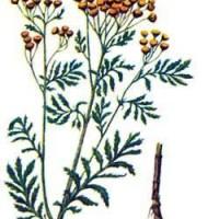 Tanacetum vulgare L.