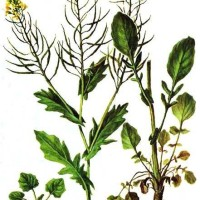 Barbarea vulgaris R.