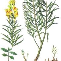 Linaria vulgaris М.