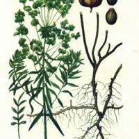 Euphorbia virgata Waldst. & Kit.