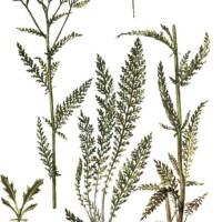 Achillea millifolium L.