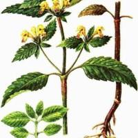 Galeopsis speciosaa Mill.
