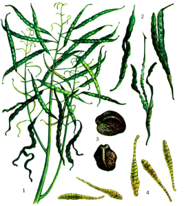 Alternaria brassicae Sacc.