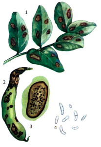 Ascochyta fabae Speg