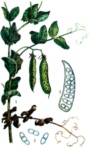 Ascochyta pinodes Jones