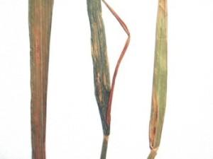 Аскохитоз пшеницы