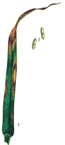 Ascochyta graminicola Sacc.