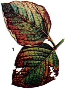 Pseudomonas glycineum Coerper