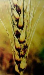Бактериоз пшеницы базальный