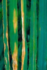 Бактериоз пшеницы бурый