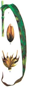 Xanthomonas translucens Dowson var. undulosa Hagb.