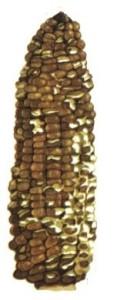 Бель початков кукурузы
