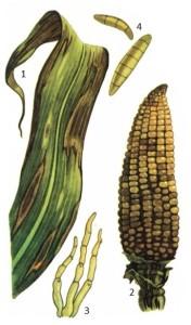 Helminthosporium turcicum Pass.