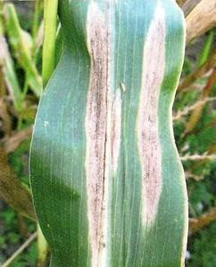 Бурая пятнистость или гельминтоспориоз кукурузы