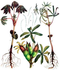 Pythium debaryanum Hesse.