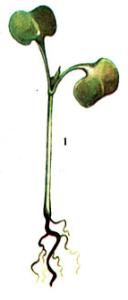 Pythium Pringsh., Rhizoctonia DC., Olpidium A. Br.