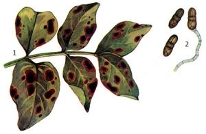 Stemphylium sarciniforme Wiltsh.