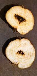 Дуплистость корней сахарной свеклы