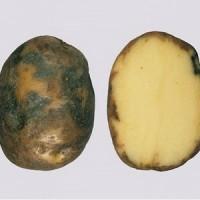 Фитофтороз картофеля_3