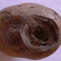 Фомоз картофеля, или пуговичная гниль_4