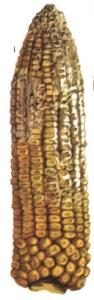 Fusarium moniliforme Scheldon