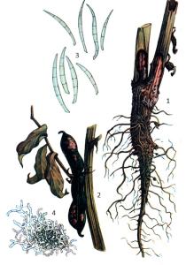Fusarium oxysporum Schl.