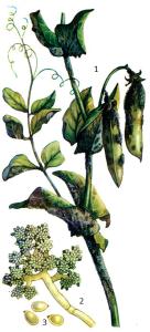 Сlаdosporium herbarum Fr.