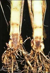 Гниль кукурузы фузариозная