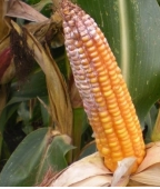 Гниль кукурузы красная