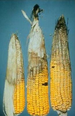 Гниль кукурузы серая