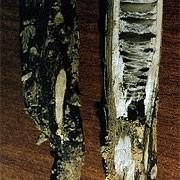 Гниль кукурузы угольная_2