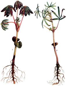 Fusarium Link и Pythium Pringsh.