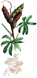 Botrytis cinerea Fr.