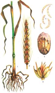 Fusarium graminearum Shwabe