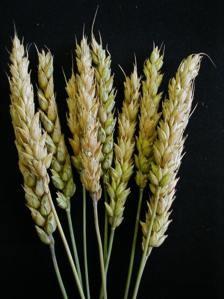 Гниль пшеницы фузариозная или фузариоз